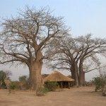 Baobabs, Malawi