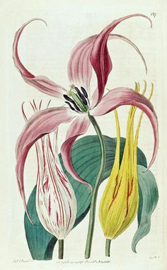 Garden Tulip | Botanical Register, vol. 2: t. 127, (1816) [Syd Edwards]