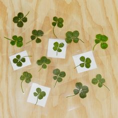 This Real And Genuine Four Leaf Clover Is The Perfect Good Luck Charm It