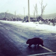 Wombat in the snow in Tasmania… and other Wintery Tasmanian pictures!