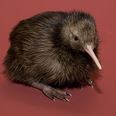 """Welcher Vogel ist das? Kiwi Kiwis oder Schnepfenstrauße sind flugunfähige, nachtaktive Vögel in den Wäldern Neuseelands. Der Kiwi ist das Nationalsymbol Neuseelands. Von ihm leitet sich die Eigenbezeichnung der Bewohner Neuseelands als """"Kiwis"""" ab."""