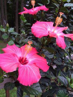 Beautiful summer hibiscus bloom!