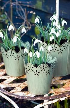 Galanthus nivalis - Snowdrops in small green metal pots - lovely!