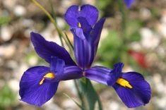 Planting Iris Bulbs - How to Plant Dutch, English And Spanish Irises