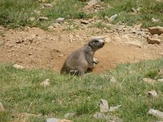 Marmot in Andorra. ( By Jim Blg ).