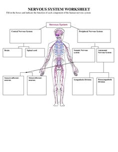 Printables Nervous System Worksheet worksheets muscular system and nervous on pinterest worksheets