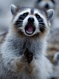 20 Priceless Photos Of Animals That Were Caught By Surprise! Woodland Creatures, Cute Creatures, Beautiful Creatures, Animals Beautiful, Animals And Pets, Baby Animals, Funny Animals, Cute Animals, Pet Raccoon