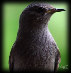 Black Redstart by AngelEowyn