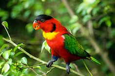 Yellow-Bibbled Lory; A Beautiful Parrot Endemic to the Solomon Islands