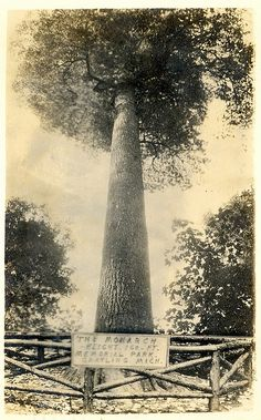 Grayling MI Monster Hartwick Michigan White Pine called the Monarch RPPC 1942 at the Memorial Park prior to Hartwick becoming a State Park, via Flickr.