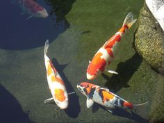 Koi Pond 1 | The koi pond at the Japanese Friendship Garden … | Flickr