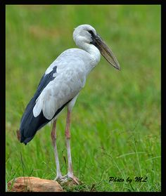 Anastomus oscitans/Asian Openbill stork