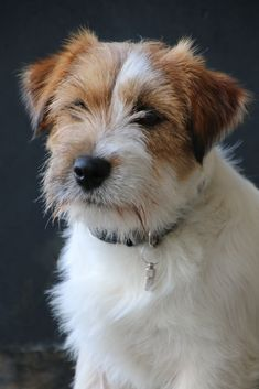 Dog And Puppies Diy Jack Russell.Dog And Puppies Diy Jack Russell Jack Russell Puppies, Jack Russell Mix, I Love Dogs, Cute Dogs, Best Dog Toys, Parson Russell Terrier, Best Dog Training, Girl And Dog, Dog Portraits