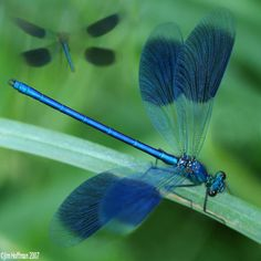 Damselflies  By: Jim Hoffman. This one seriously looks like my dragonfly tattoo!