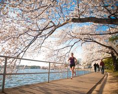 Washington, D.C. Blooming cherry blossom trees provide a colorful canopy around the two-mile Tidal Basin path in the early spring.