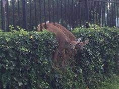 What now? Deer trapped in epic fence fail