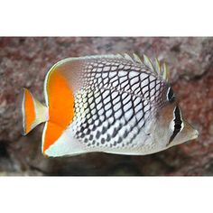 PEARLSCALE BUTTERFLY FISH .    Chaetodon xanthurus ....   also known as yellow-tailed butterfly  or Philippines Chevron Butterfly