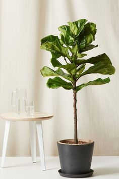 Bloomscape Large Fiddle Leaf Fig indoor plant with 5 pot color options. Great for home office space and living area decor. Fig Plant Indoor, Large Indoor Plants, Patio Plants, All Plants, Outdoor Plants, Bamboo In Pots, Bamboo Palm, Potted Bamboo, Beautiful Interior Design