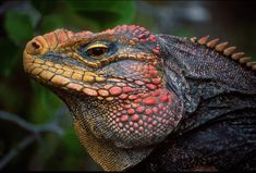 The Jamaican Iguana is one of the world's rarest lizards, with only several hundred animals left in the Hellshire Hills of Jamaica. The greatest threats to this Critically Endangered species include habitat loss and the introduction of the mongoose.
