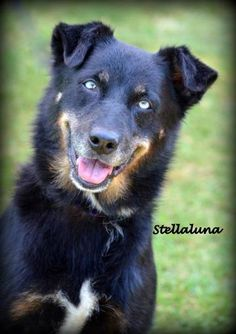 Check out Stellaluna's profile on AllPaws.com and help her get adopted! Stellaluna is an adorable Dog that needs a new home. https://www.allpaws.com/adopt-a-dog/australian-shepherd-mix-husky/5713591?social_ref=pinterest