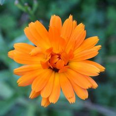 #ringelblume Magic Herbs, Natural Energy, Calendula, You Are Awesome, Amazing Flowers, Ayurveda, Wicca, Witchcraft, Herbalism