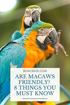 Are macaws friendly? Do they like to cuddle and gives kisses? To humans and to other parrots? Read this article to learn how friendly they really are! Parrot Pet, Parrot Toys, Funny Birds, Cute Birds, Diy Macaw Toys, Macaw Cage, Parrot Facts, Parakeet Care, Conure Bird