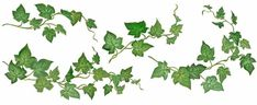 Image detail for -English explanatory dictionary online >> ivy