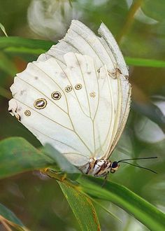 Fleeting And Fragile Greeting Card for Sale by Leda Robertson Madame Butterfly, White Butterfly, Butterfly Wings, Butterfly Cocoon, Flying Flowers, Frog And Toad, Beautiful Butterflies, Dragonflies, Aviators
