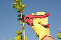 Removing apical dominance forces the remaining growth points to produce and grow faster.http://www.maximumyield.com/achieving-shear-growth-pruning-to-maximize-fruit-size/2/1359?utm_content=buffer561ac&utm_medium=social&utm_source=pinterest.com&utm_campaign=buffer Thinking about starting your own hydroponics garden? Click here for supplies…
