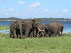 Large herds of Asian elephants can be seen in Kaudulla National Park in central Sri Lanka. Asian Elephant, Elephants, Sri Lanka, National Parks, Animals, Animaux, Elephant, Animal, Animales