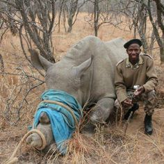 One of the good guys! #Ranger assisting with #rhino relocation.