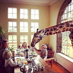 Now who would not mind sharing a breakfast with  some Giraffes - Only at the @giraffe_manor #kenya #safari #travel