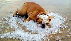 Funny bulldog image by on Photobucket Animals And Pets, Funny Animals, Cute Animals, Animal Pictures, Funny Pictures, Funny Pics, Bulldog Images, Bulldogs Ingles, Weather Memes