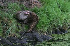 Otter on the river bank River Bank, Otters, Garden Sculpture, Outdoor Decor, Projects, Log Projects, Blue Prints, Otter