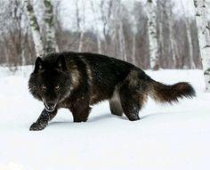 Black Wolf in snow, beautiful photo