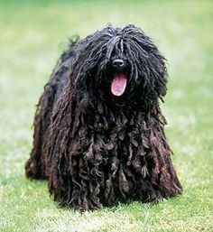 Puli is an ancient sheepdog from Hungary, reasonably intelligent, agile dogs.