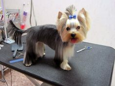 Yorkie cut variation #1