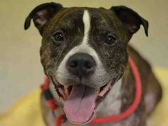 GONE 01/29/15 --- SUPER URGENT 1/18/15 Manhattan Center   MISO - A1025752  I am an unaltered male, brown brindle and white American Staffordshire Terrier.  The shelter staff think I am about 10 years old.  I was found in OUT OF NYC.  I have been at the shelter since Jan 18, 2015.  https://www.facebook.com/Urgentdeathrowdogs/photos/pb.152876678058553.-2207520000.1421674746./946254095387470/?type=3&theater