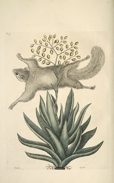 'The Flying Squirrel, Its Posture and Manner of Flying; Viscum Caryophylloides, Aloes foliis viridibus acuminatis, floribus racemosis luteis' from  'The natural history of Carolina, Florida and the Bahama Islands: containing the figures of birds, beasts, fishes, serpents, insects, and plants. Vol II.' (1754) by Mark Catesby.