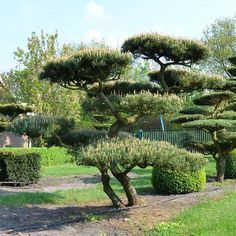 Japanese Gardens (日本庭園, nihon teien) are classic gardens whose models are in the middle of Japanese aesthetic and motivational inspirations. Topiary Garden, Garden Trees, Trees To Plant, Bonsai Trees, Landscape Plans, Landscape Design, Garden Design, Landscaping With Rocks, Garden Landscaping
