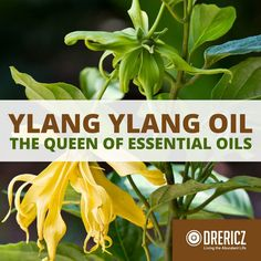 The ylang ylang essential oil uses are absolutely remarkable and the research suggests it can help with diabetes, hypertension and more healing benefits!