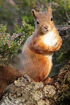 Red Squirrel in heather Sciurus vulgari by mikejrae on Flickr.