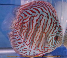 nitingdedao uploaded this image to 'DCS National Discus Comp National Discus Comp See the album on Photobucket. Discus Aquarium, Discus Fish, Freshwater Aquarium Fish, Betta Fish, Fish Care, Angel Fish, Cichlids, Tropical Fish, Fresh Water