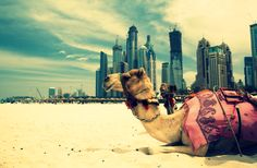 Camel resting in Dubai, UAE