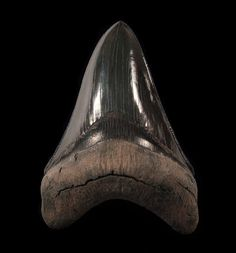 "A killer ~5"" GEM JET BLACK colored Megalodon - lower jaw ANTERIOR tooth from So. Carolina. An exceptional true black crown - not a charcoal gray color. Highest quality enamel - the surface is like glass! The large jet black bourlette is essentially complete. The large serrations are razor sharp with a good tip."