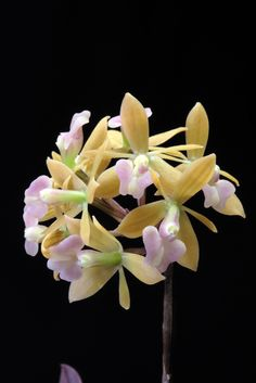 "Orchid.   (""Epidendrum anceps."")     From Chrome research:  ""Epidendrum, abbreviated Epi in the horticultural trade, is a large neotropical genus of the orchid family."""