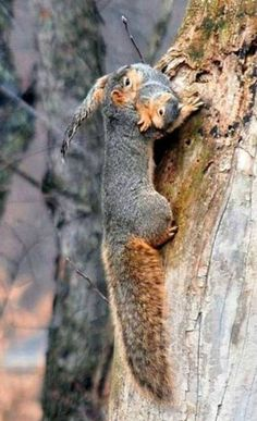 Squirrel mother carrying baby.