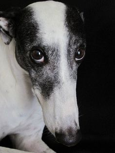 Greyhounds - How can you not fall in love with that face?