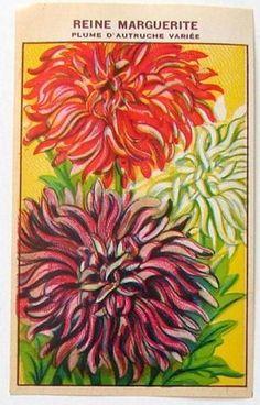French Flower Seed Label, Reine Marguerite