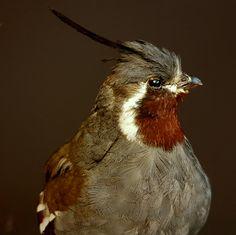 Bird taxidermy, Taxidermy, Opgezette vogel, opgezette dieren- www.dejachtkamer.nl